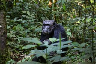 チンパンジーイメージ