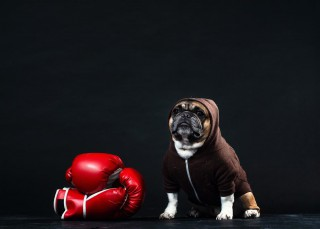 ボクシンググローブと犬
