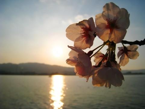 夜桜イメージ